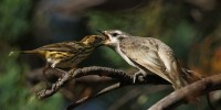 Cooperatively-breeding speckled warbler (left) feeding a black-eared cuckoo fledgling (right). Credit: David Cook.