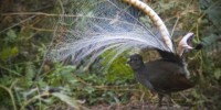 A male superb lyrebird shows off to the ladies. Photo by Alex Maisey