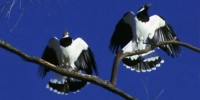A pair of Magpie-larks in duet