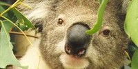 A male koala on Phillip Island. Photo: Dr. Ben Moore