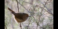 Tiny birds cry wolf to scare predators