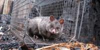 Possum in a trap. Image credit: Sam Banks
