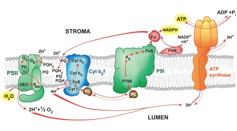 Pathways Of Photosynthetic Electron Flow Under Environmental Stress