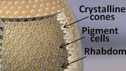 Crystalline cones, Pigment Cells, Rhabdom