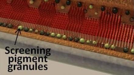 Screening pigment granules and microvilli