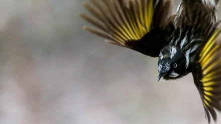 New Holland Honeyeater. Image credit Dr Jessica McLachlan