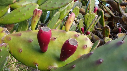 Prickly Pear, Opuntia stricta