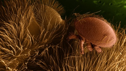 Varroa_destructor_on_honeybee_host-public-domain-United States Department of Agriculture