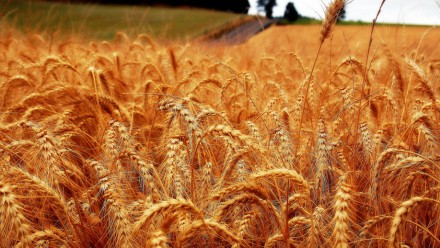 Wheat photo courtest of Keith/Ewing on flickr