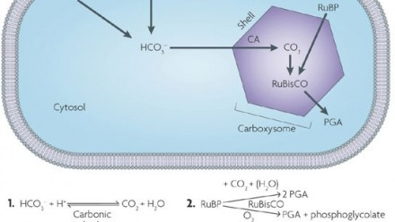 Image representing the carboxysome micro-compartment in a cell