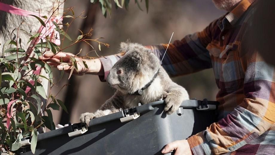 A koala is reintroduced to bush near the Tow Thumbs Wildlife Sanctuary. Photo: James Walsh/ANU