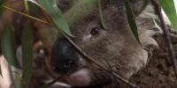 """Koala, 'Ian"""""""