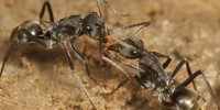 The Swimming Ant, Polyrhachis sokolova; image courtesy Ajay Narendra, ANU