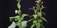 Study species, the Tobacco plant