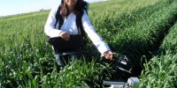 Measuring photosynthesis of wheat plants