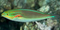 Blue-lined wrasse. Photo credit: Sally Pollack (creative commons license, http://eol.org/data_objects/11751640).