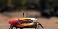 Fiddler crab, Uca coarctata