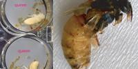 Developing bee larvae