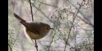 Tiny birds cry wolf to scare predators