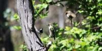 Wrens mobbing a cuckoo.  Photo: William Feeney