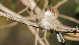 Female superb fairy-wren. Photo Andrew Haysom