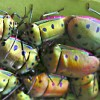 Bugs on a mangrove leaf